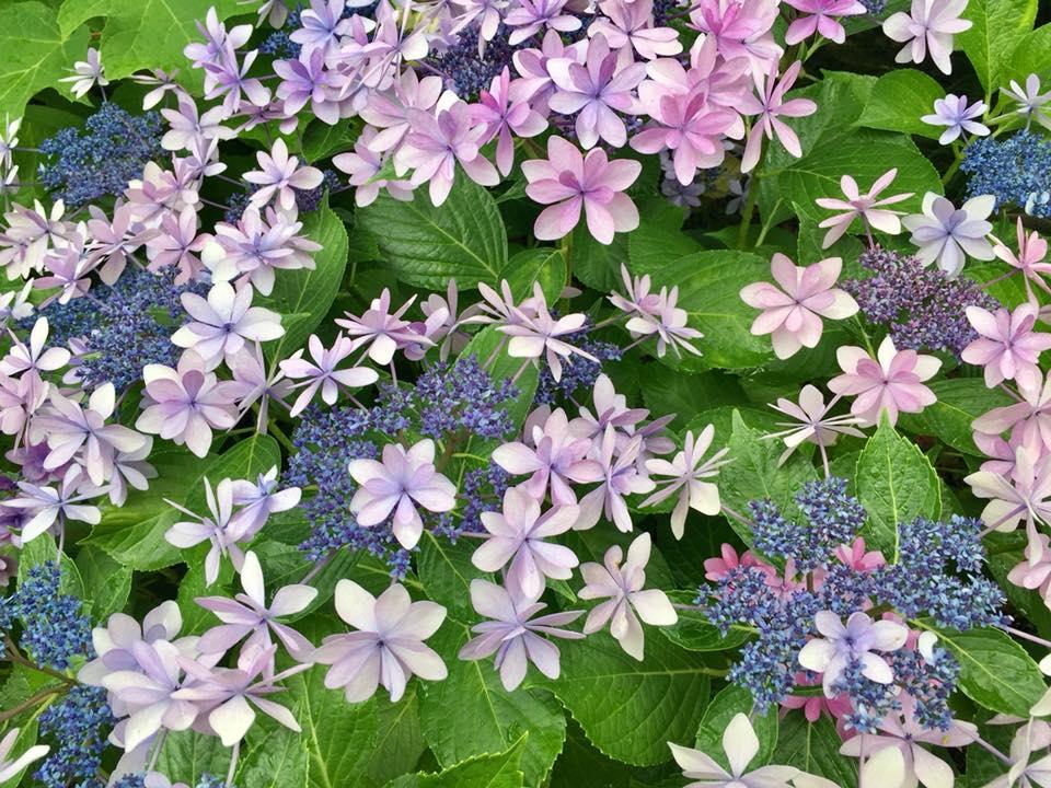 もりやま芦刈園の紫陽花